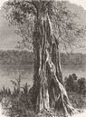 GABON. Trunk of Ovounchua, species Ficus 1880 old antique print picture